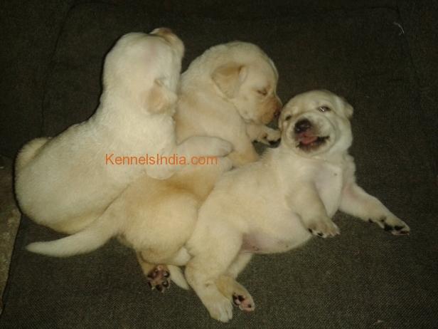 Lab puppies 4 sale