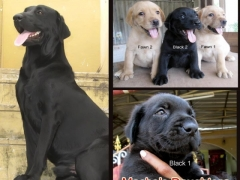 Labrador puppies active and in excellent condition for sale in chennai