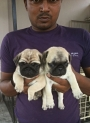 pug pupps for top class parents in very low rate MP