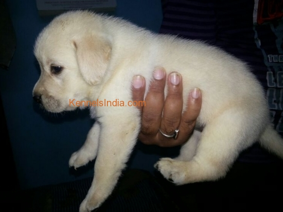 labrador puppies for sale in agra