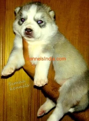 images siberian husky