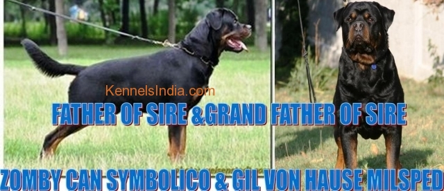 Rottweiler puppies  int.ch. Gil von hause linage for sale in chennai