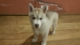 2 months old siberian husky for sale in Mumbai Maharashtra