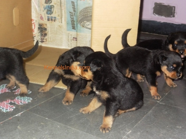 Rottweiler puppies for sale in gulbaraga