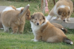 OSWALD ROUGH COLLIES puppies