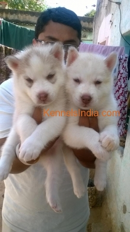 Siberian Husky Puppys For Sale In Bangalore