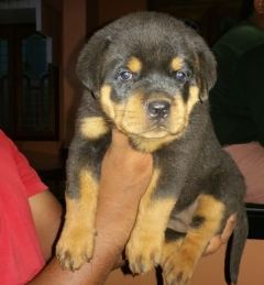 Champion Rottweiler Puppies for sale in Kerala