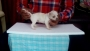 Quality Chihauhau Male Puppies in Hyderabad
