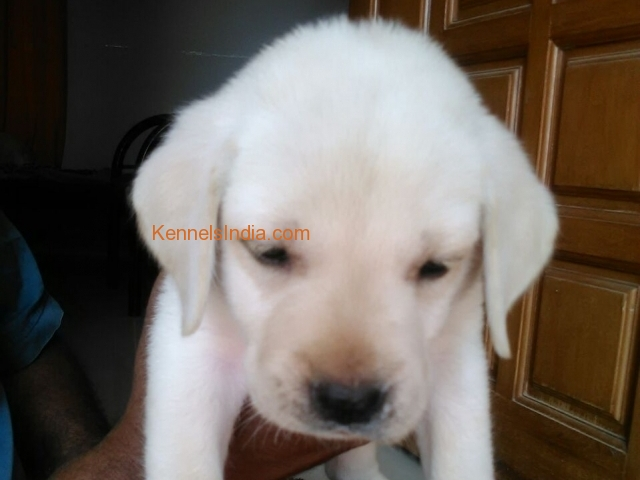 Male and femail Lab Puppies for sale in Bangalore for Pet lovers