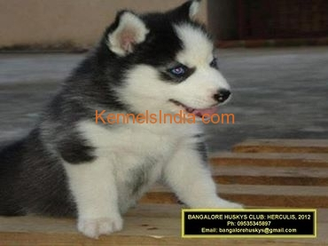 Siberian Husky Puppy For Sale In Bangalore