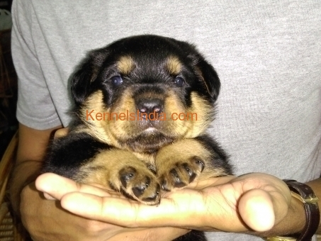 Pure Breed Rottweiler for sale in pondicherry