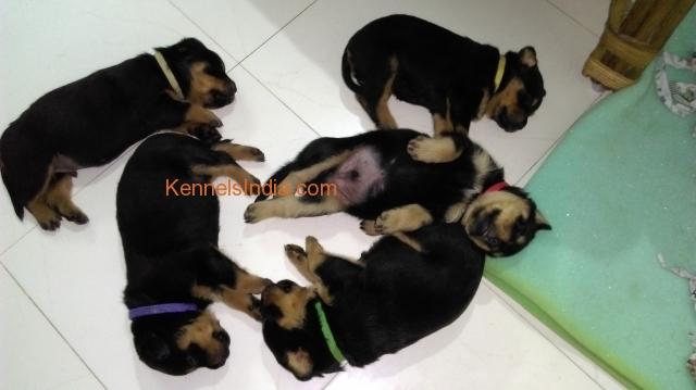 Black Dog Price In Pondicherry