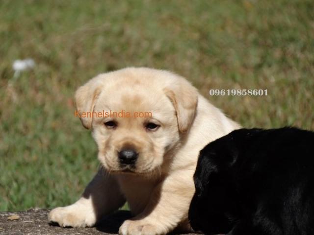 Black Labrador Dog For Sale In Mumbai