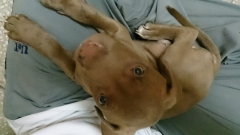 RED AMERICAN PITBULL TERRIER for sale in Gurgaon