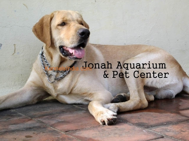Adult Labrador male dog in excellent condition for sale in chennai