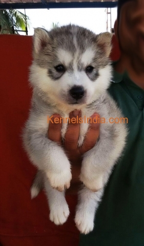 Siberian Husky Puppies For Sale In Chennai