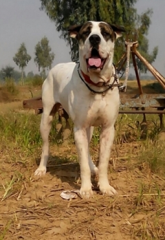 pure breed indian mastiff bully kutta pups available