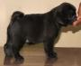 Show Prospect Black Pug Puppies