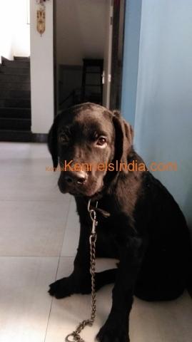 Black Labrador Retriever Pup For Sale in Ahmedabad Gujarat