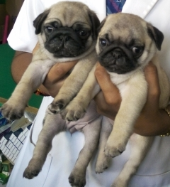 Pug  Puppy of jenny