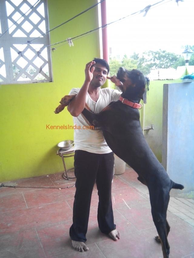 Heavy size KCI certified doberman puppy in chennai