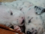 30 Days Old Dalmatian Puppies for Sale in Chennai Tamil Nadu