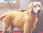 KCI Reg Male Golden Retriever for sale in kerala tiruvalla