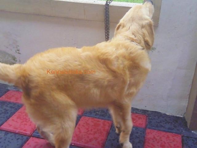 KCI Reg Male Golden Retriever for sale in kerala tiruvalla