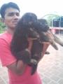 German Shepard bush coat heavy bone puppy