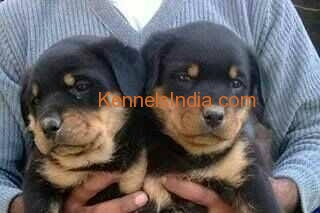 rottweiler puppy for sale in rishikesh