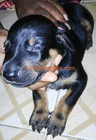 Show quality doberman pup for sale in Chennai