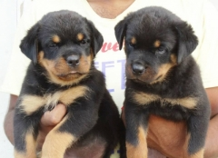 Import and champion pedigree Rottweiler puppy for sale at coimbatore
