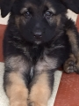 Heavy bone GSD puppies for sale in Vellore Tamilnadu