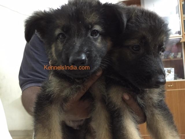 Heavy bone GSD puppies for sale in Vellore Tamilnadu