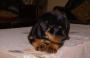 Massive rottweiler puppy available for sale Bangalore Karnataka