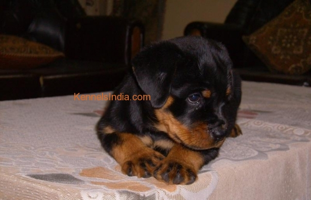Massive rottweiler puppy available for sale Bangalore Karnataka