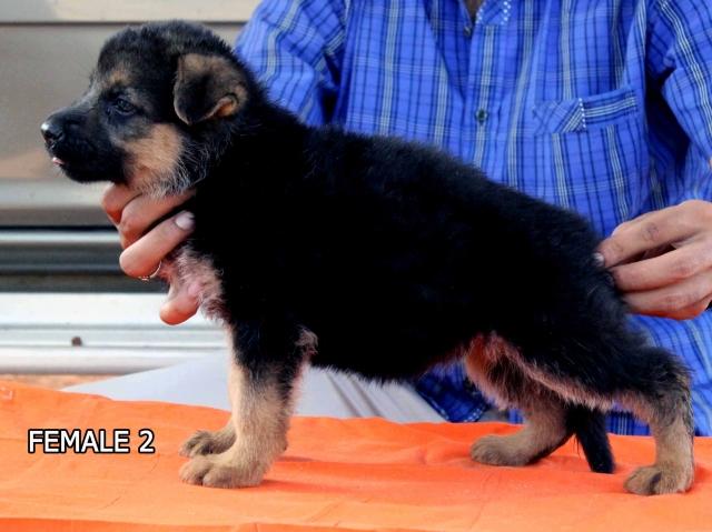 Import bloodline german shepherd puppies for sale
