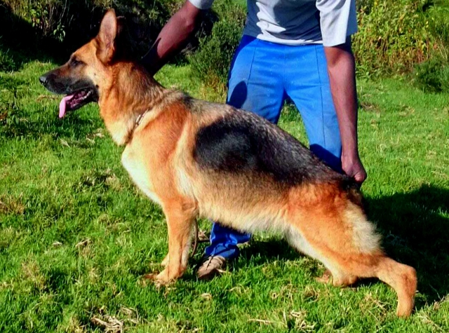Import bloodline german shepherd puppies for sale
