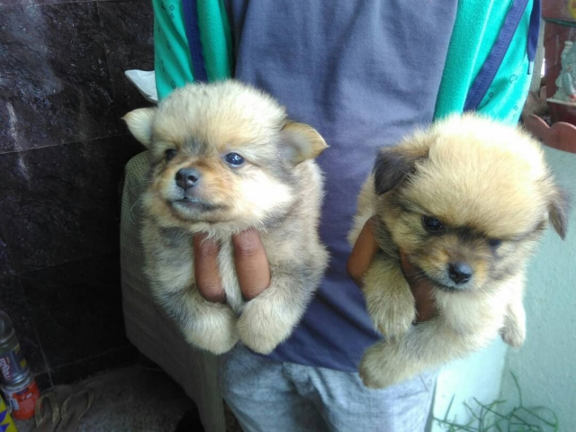 Mini Pomeranian Puppies Available In Bengaluru