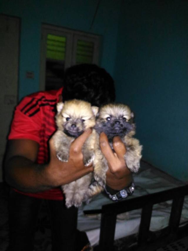 Mini Pomeranian puppies