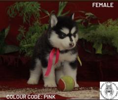 Standard Alaskan Malamute Puppies Available in Kolkata