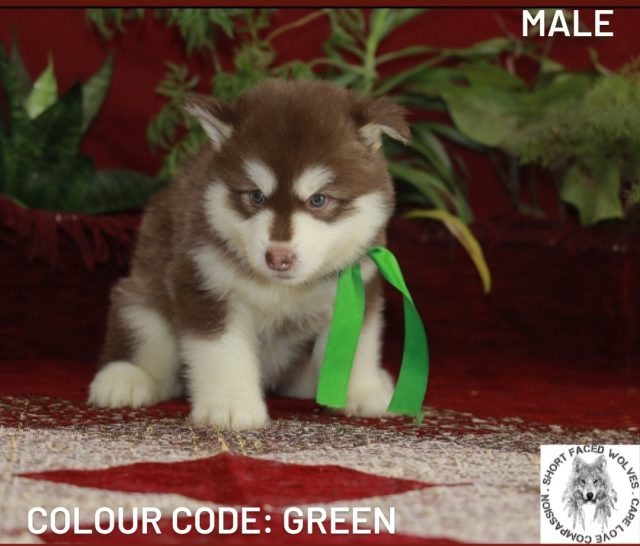Standard Alaskan Malamute Puppies Available in Kolkata