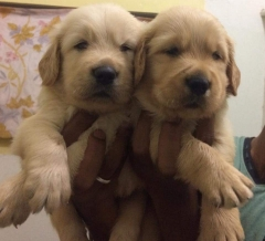Champion line Golden Retriever puppies for sale