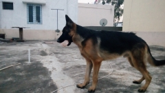9 months old German shepherd Puppy for sale in Coimbatore