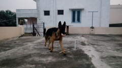 9 months old German shepherd dog breeders Coimbatore