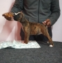 Show quality boxer puppies for sale in Bengaluru