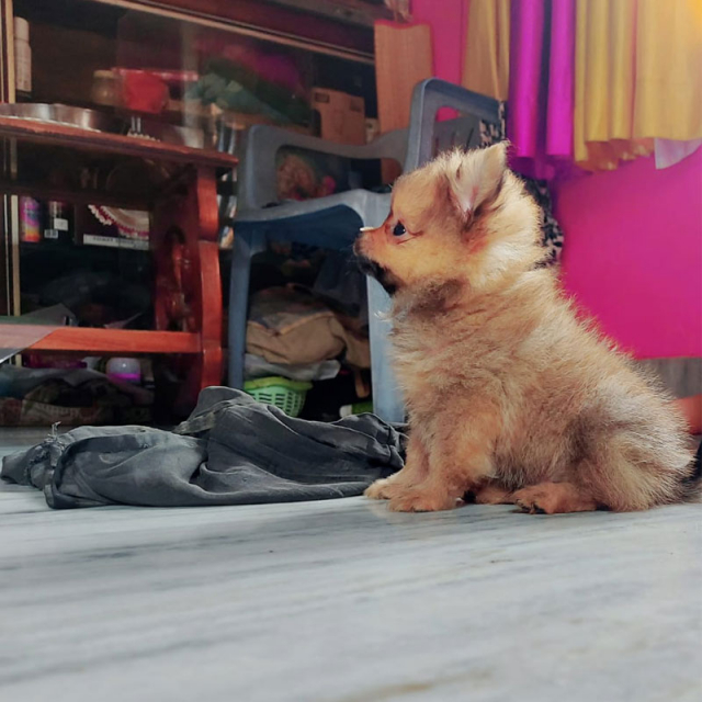 pomeranian golden puppy