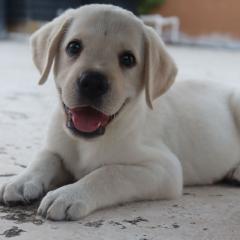 labrador puppy for sale in coimbatore