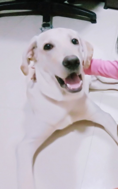 Scottie Healthy and Active Male Labrador for sale in Chennai