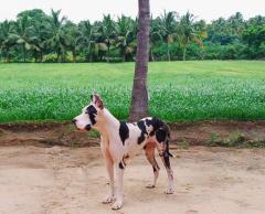Great Dane Female Dog for sale in Sakthi Dane Tiruchengode